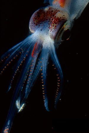 abraliopsis