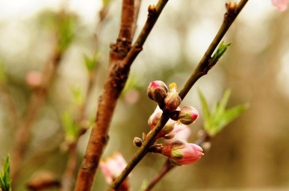 Peach Tree 5